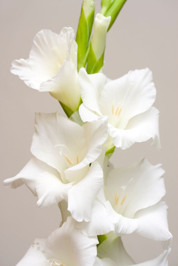 120 best language of flowers images on pinterest language of white gladiolus victorian meaning generosity mightylinksfo Images