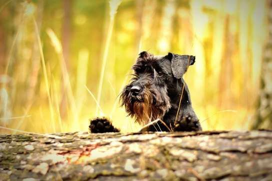 Miniature Schnauzers have a harsh, wiry coat that needs brushing three times a week  You can't classify them as completely non shedding, but they come really close! #catsbreedsthatdontshed