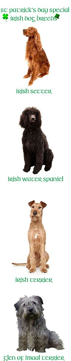 To celebrate #StPatricksDay, let's honor those breeds that hail from the Emerald Isle: the Glen of Imaal Terrier, the Irish Terrier, the Irish Water Spaniel, the Irish Wolfhound, the Kerry Blue Terrier, the Soft Coated Wheaten Terrier, and the Irish Red and White Setter. Here are the first 4 Irish breeds. Stay tuned for the next 4 Irish Dog Breeds in this St. Patrick's Day Special!