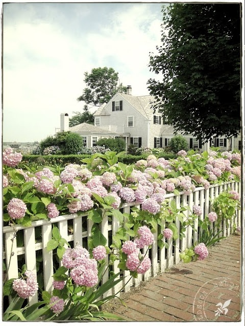Lovely hydrangeas blooming along and over fence......love them!