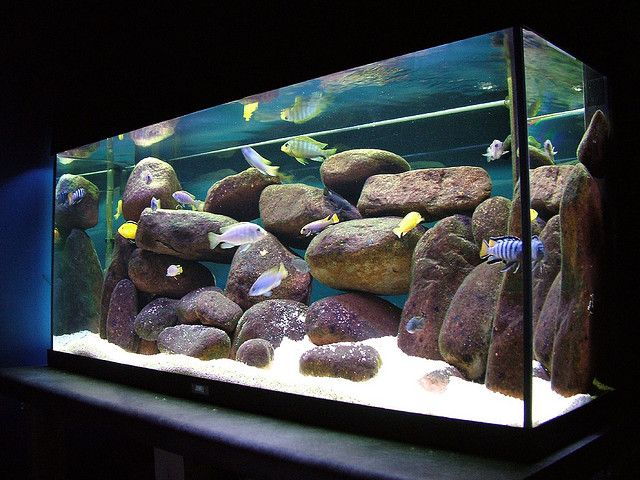 malawi cichlid setup by denoneno via flickr peacock and mbuna cichlid collection pinterest. Black Bedroom Furniture Sets. Home Design Ideas