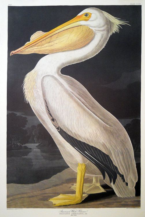 18 Best Audubon Prints Images On Pinterest Audubon