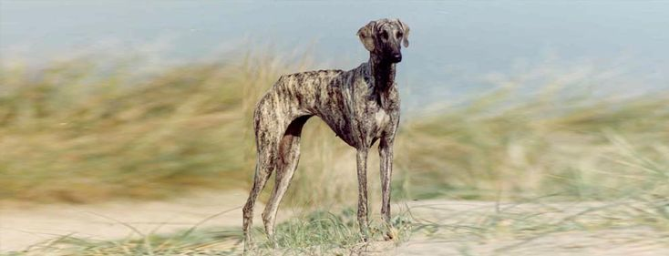 Todo sobre el perro galgo árabe o sloughi