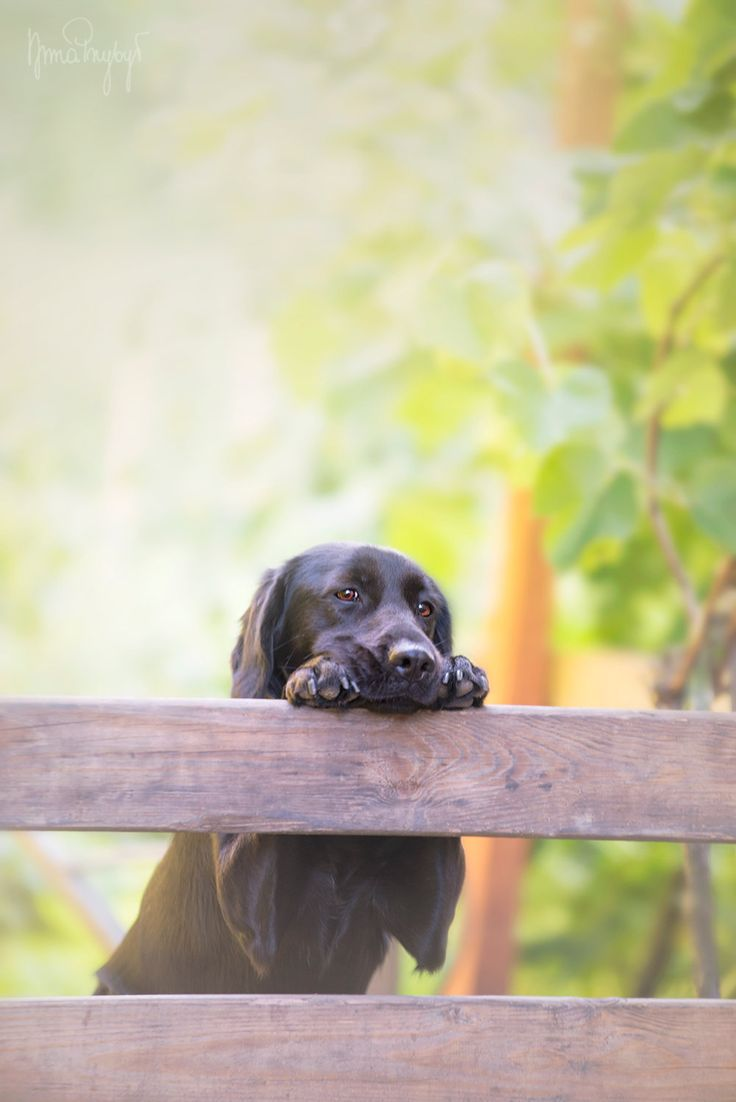 2997 best DOG LOVE images on Pinterest | Chocolate labs, Animals ...