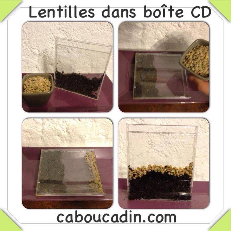 Pousses de lentilles dans une boîte CD en plastique @caboucadin  www.caboucadin.com/jardinage-pour-enfant-maternelle.php