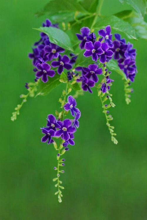 Florecitas moradas little purple flowers flores flowers florecitas moradas little purple flowers mightylinksfo