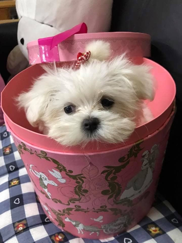I D Love A Wee Present Like This Maltese Puppy Cute Puppies