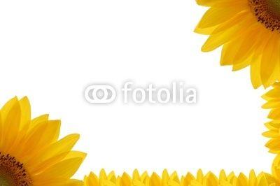 cornice di girasole #cornice #decorare #decorazione #ecologia #estate #estirpare #fiore # fiori #giardino #girasole #incorniciare #isolato #petali #petalo #primavera #quadro #sole