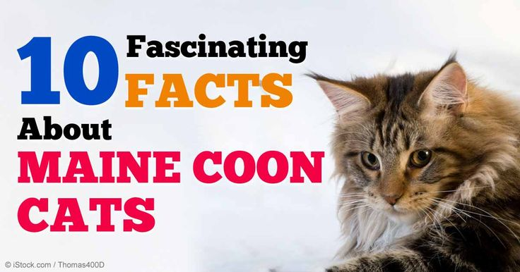 Maine Coon cats are one of the most popular cat breeds in the US, and they have been adored for centuries. http://healthypets.mercola.com/sites/healthypets/archive/2014/12/12/maine-coon-cats.aspx