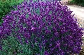 Lavender Vera Bunga pengusir nyamuk dan memiliki wangi aromatherapy yang bagus untuk kesehatan tubuh. http://bit.ly/1QhJN5Q