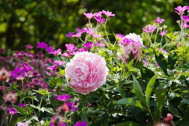 Spring Combination Ideas, Plant Combinations, Flowerbeds Ideas, Spring Borders, Summer Borders, Pink Peonies, Paeonia Lactiflora, Geranium psilostemon, Peony Sarah Bernhardt, Armenian cranesbill