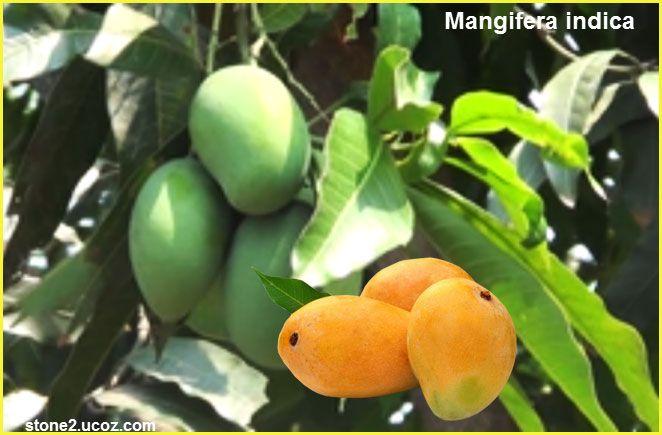 المانجو او المنجا او الانبج وطرق الزراعة Mangifera Indica قسم الفواكه النبات معلومان عامه معلوماتية Fruit Apricot Plum
