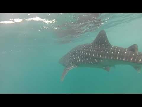 Maldivers, Manta rays - YouTube