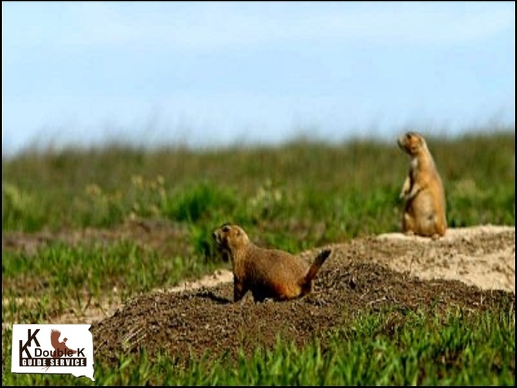 #South Dakota Prairie Dog Hunt  #Travel South Dakota USA multicityworldtravel.com We cover the world over 220 countries, 26 languages and 120 currencies Hotel and Flight deals.guarantee the best price