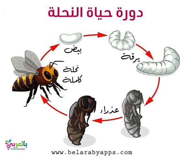 رسم دورة حياة الحيوانات للاطفال مراحل نمو الحيوان بالصور بالعربي نتعلم Life Cycles Bee Life Cycle Animal Life Cycles