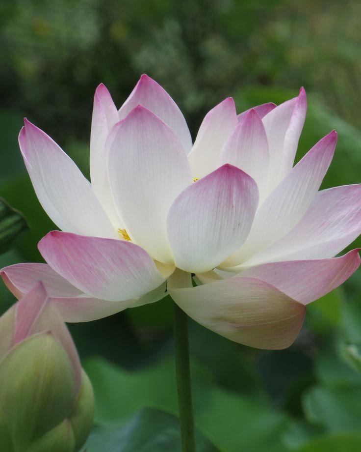 Lotus- Taken at the Mauritius Botanical Gardens