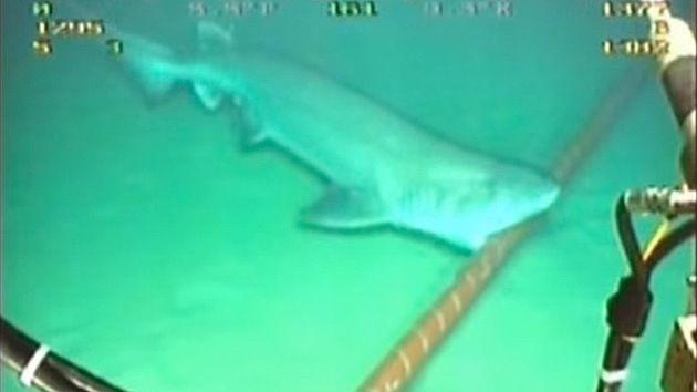 Video: Los tiburones muerden y dañan los cables submarinos de la Red global – RT