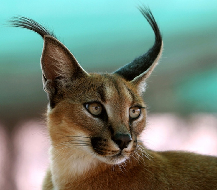 """The Caracal is sometimes called a """"Persian Lynx"""" or"""
