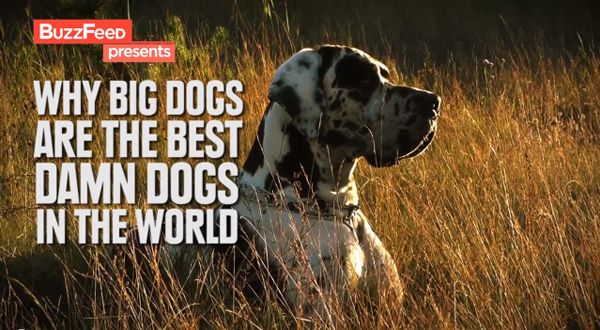 And Now, A Video for All the Big Dog Lovers in the House.  So cute! http://www.livinglifeezy.com/contact/