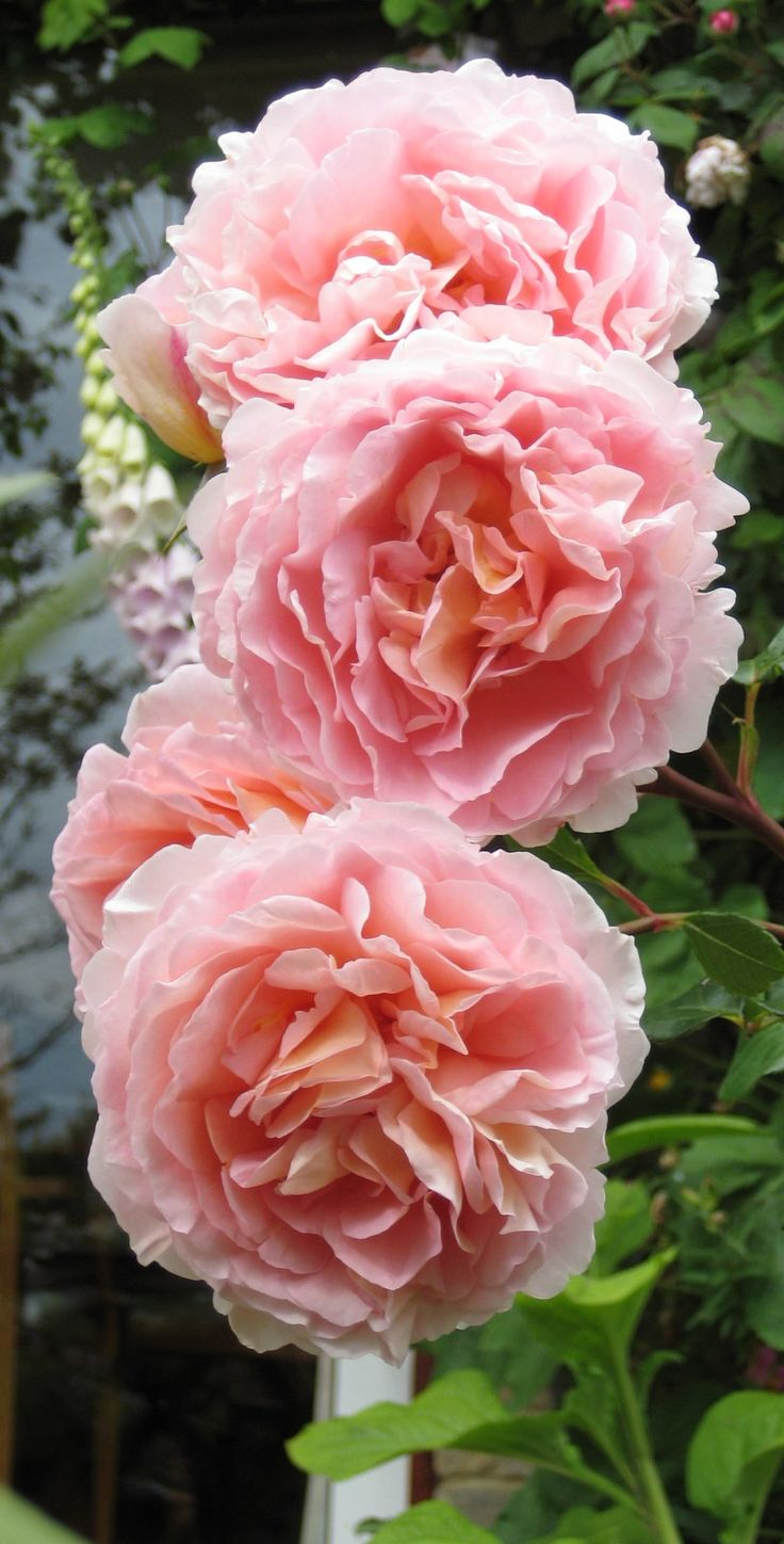 Rosa 'Abraham Darby' (English Shrub Rose)