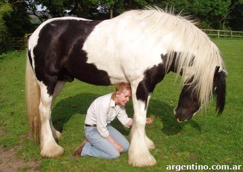 Magníficos9 años de pura raza de caballo gitano en la venta en Buta Ranquil