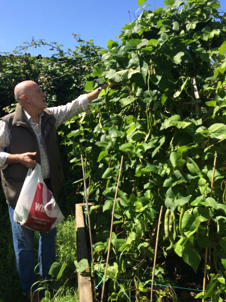 August runner beans being picked by Mr V. Hope to use in school kitchen.
