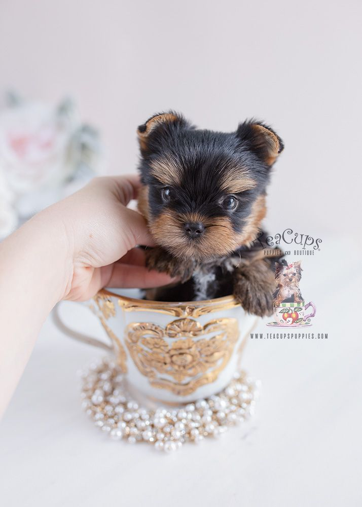 Yorkie Puppy By Teacup Puppies And Boutique Yorkie Yorkiepuppy Puppy Yorkiepuppies Puppies Puppylove D Yorkie Puppy Teacup Yorkie Puppy Teacup Puppies