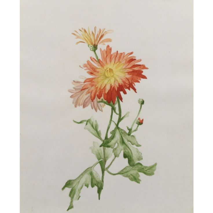 Botanical Aster Garden Flower Watercolour Painting Image