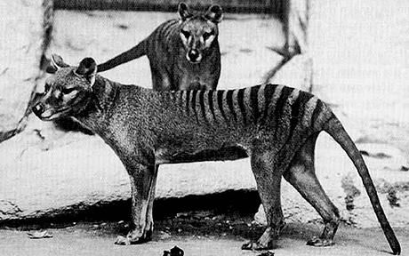 Tasmanian tiger. It is thought to have become extinct in the 20th century