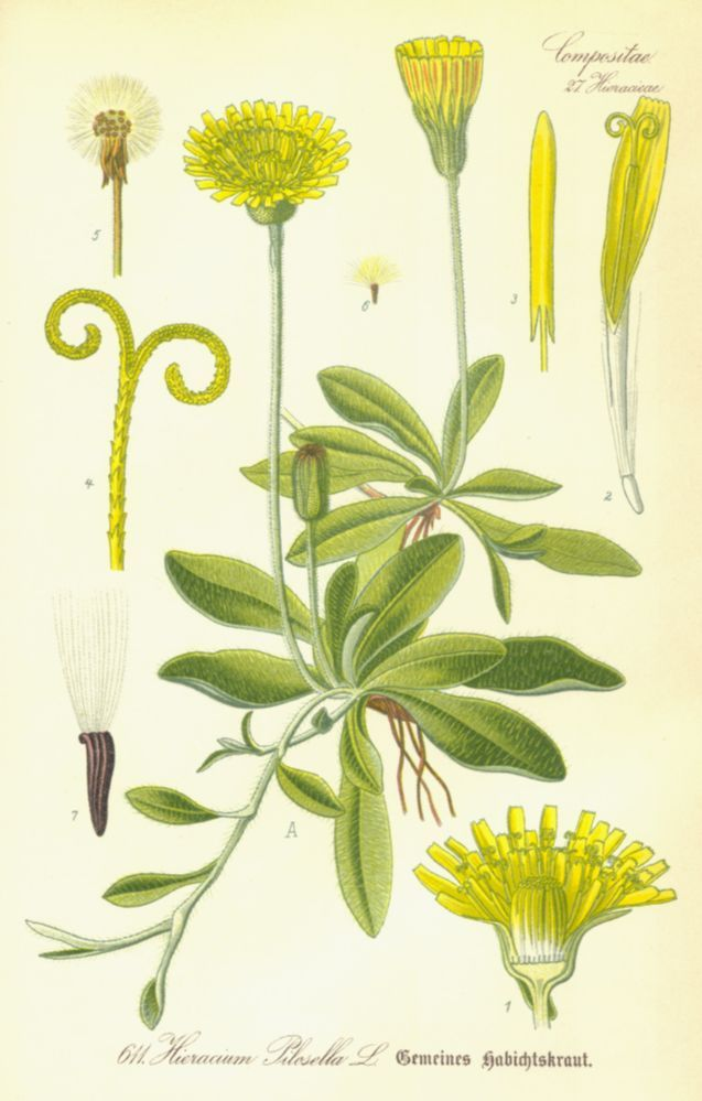 Asteraceae Hieracium pilosella - mouse ear