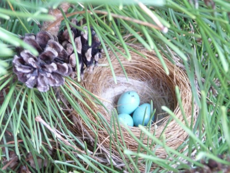 Purple Finch nest. | Bird Nests,Eggs and Houses ...