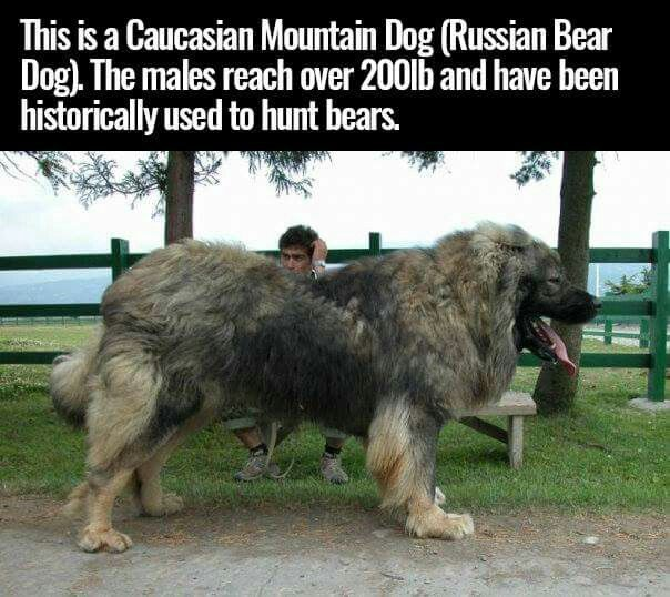 Caucasian Mountain Dog - SO FLUFFY!