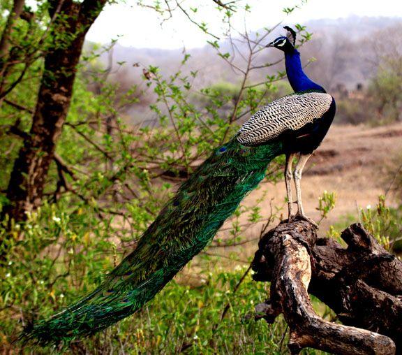 A Peacock Seen during the Jamba Desert Safari.  #ColourfulHorizons