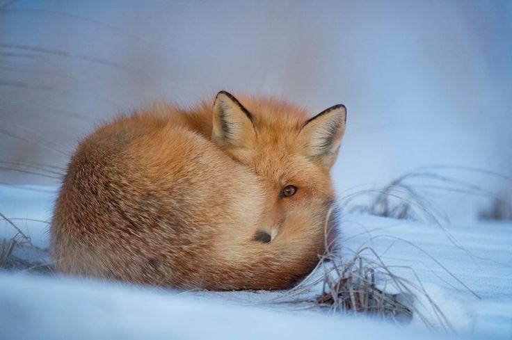 Fox <3 animals