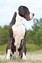 Mantle Great Dane I want a great Dane so badly!!! Love them!!