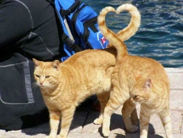 The True Lovers: When cats touch their butts together and make a heart with their tails, it's actually a form of love that is so far beyond our own meager capacity for emotional attachment that it's essentially beyond our comprehension. Looks nice, though.