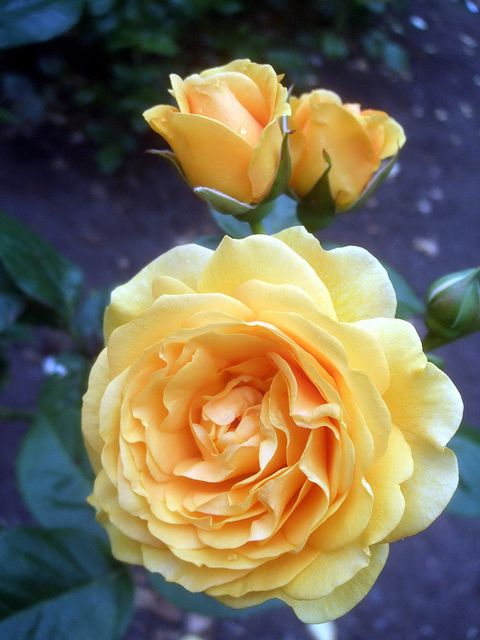 """Rosa """"Julia Child"""". I first saw these at the New Orleans Botanical Garden. I have since planted 6 in my yard. These roses rock. They are sturdy, make lots of sweet flowers and smell wonderful. Julia Child was asked to give her name to a new rose variety... she chose these because the resemble BUTTER. Pre-Paula Deen!"""