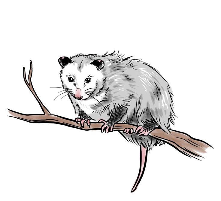 How to Draw an Opossum -- via wikiHow.com
