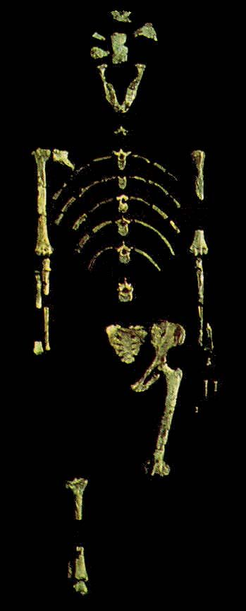 skeleton of Lucy (Australopithecus). It's 3.2 millions years old, found by Donald Johansen at Hadar in Ethopia