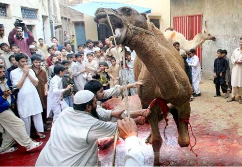 [Graphic] Muslims Furious after Country Bans Halal Slaughter for Month of Eid --- Another disgusting evil & CRUEL command from the man who had a diary 600s or so ... Great, Cause as much pain as possible. COMPLETE opposite of Jewish Kosher meat -- (I'm Vegan) It's horrific how different our concepts of LIFE are. Note: No Women. Note: Animal in Agony. Agony is the Word of the Day !?