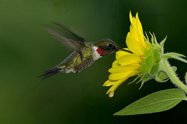 Hummingbird & sunflower by snooker2009, via Flickr