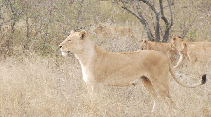 Lioness, Kruger National Park