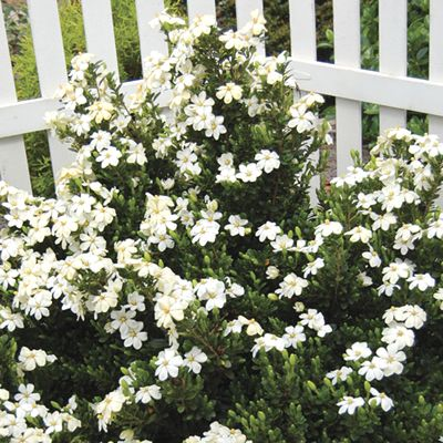 Buy ScentAmazing Gardenia - 2.5 Quart - Shrubs - Fragrant & Scented - Buy Plants Online