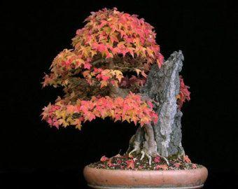 I nostri più popolari dei bonsai albero semi, eccellente come un regalo per te o la persona amata. Crescere come un bonsai o nel vostro giardino, finitura a vostra altezza desiderata e la larghezza. Questi bellissimi alberi sono meravigliosi da tramandare da una generazione a altra come bene. Molto facile da coltivare e viene fornito con istruzioni.  Questo elenco è per (nellordine delle foto):  1. giapponese Red Maple, 5 semi 2. giapponese Katsura, 5 semi 3. trident Maple, 5 semi 4…
