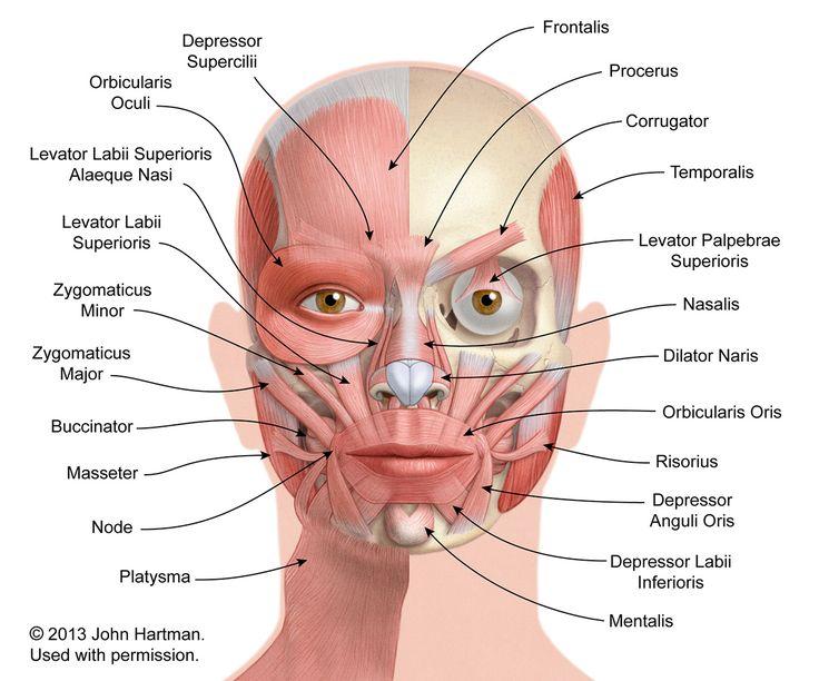 Facial Anatomy « AestheticCare.Org