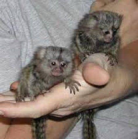 Pygmy Marmoset Monkeys for Sale | ADORABLE BABY PYGMY MARMOSET MONKEYS FOR ADOPTION - Houston