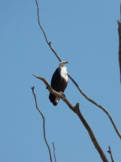 African Fish Eagle who not only looks stunning but has a truly iconic call