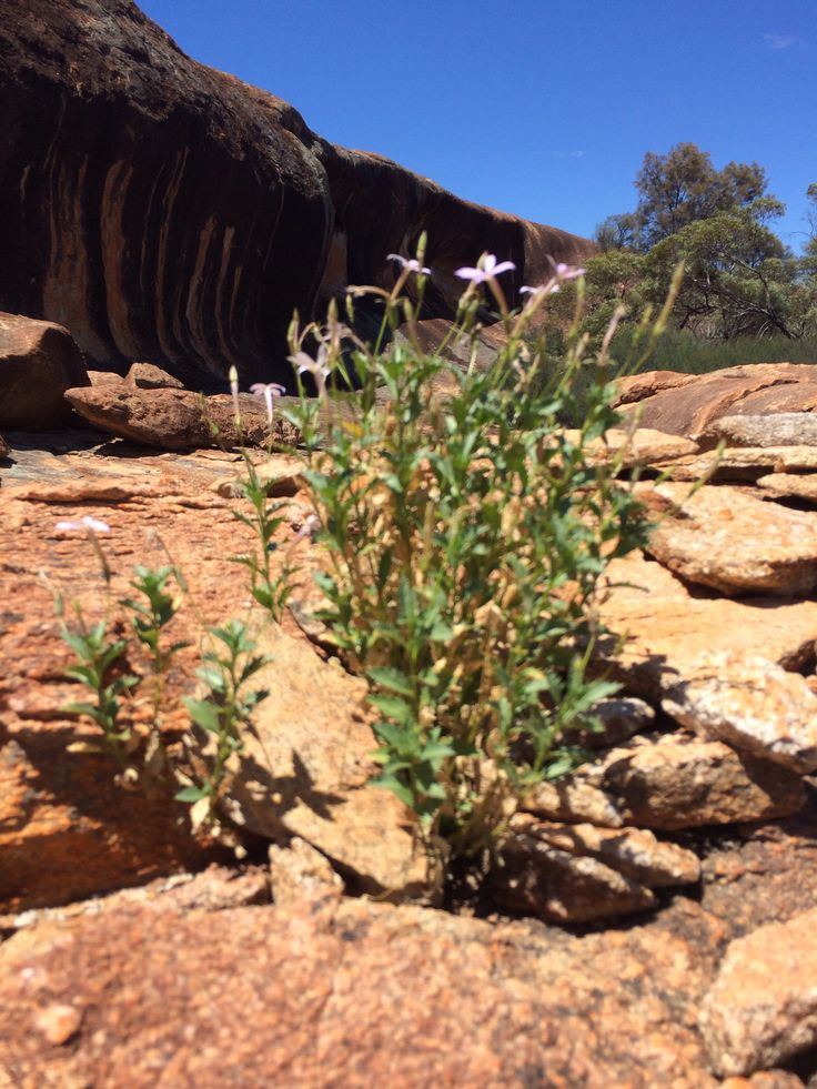 Wildflower growing out of a boulder at Cave Hill on the Green Trail in the Goldfields.