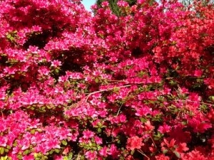 The Parc de Boutiguéry -  the largest collection of Rhododendrons and Azaleas in France #spring #fullbloom #azaleas