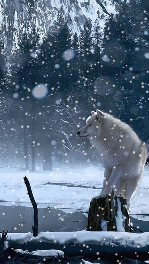 Beautiful white wolf or a Shanna Baby Girl Dog out and about!